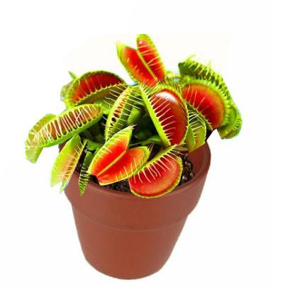 Plante carnivore attrape mouche mini plante de bureau for Plante carnivore mouche interieur